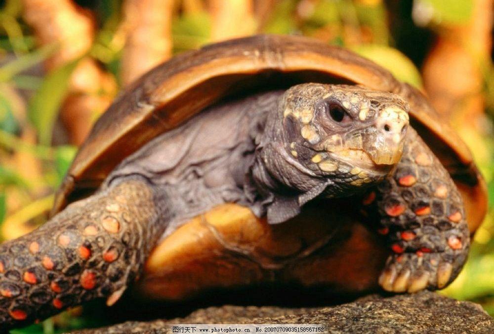 龟 爬行类 乌龟 龟类 摄影图库