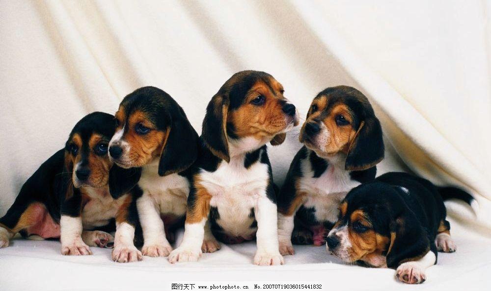 一群小狗 小狗狗 狗宝宝 狗狗 狗 小狗 宠物狗 小动物 小狗的图片 犬