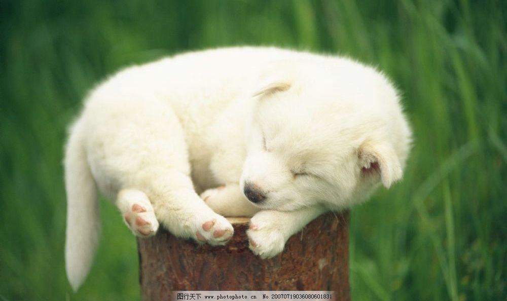 树桩上睡觉的小狗 小狗狗 狗宝宝 狗狗 狗 小狗 宠物狗 小动物 小狗的