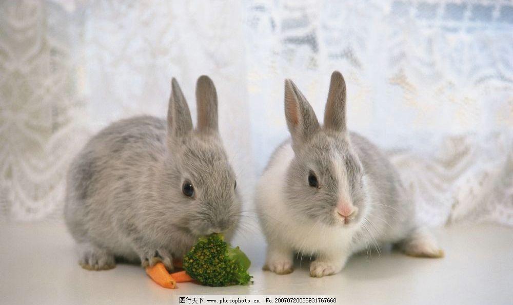 可爱的兔子 宠物兔 兔子 小兔子 兔子图片 兔子照片 野兔 家兔 生物