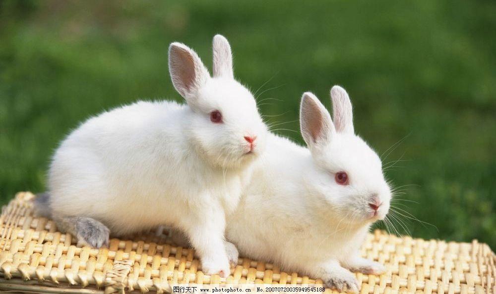 两只小白兔 宠物兔 兔子