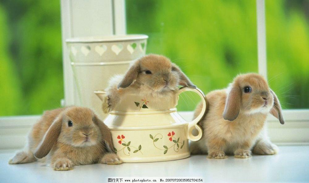 兔子 小兔子 兔子图片 兔子照片 野兔 家兔 生物 宠物 兔 哺乳动物 动