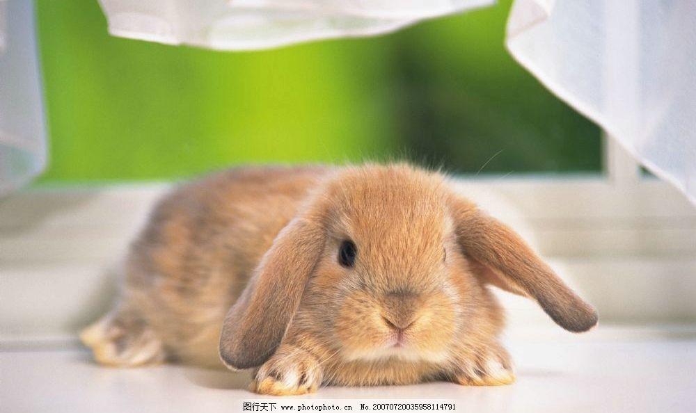 可爱小兔子 宠物兔 兔子 小兔子 兔子图片 兔子照片 野兔 家兔 生物