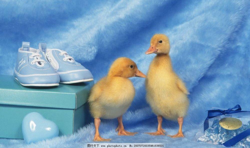 宠物鸭子 家禽 动物 生物 摄影图库