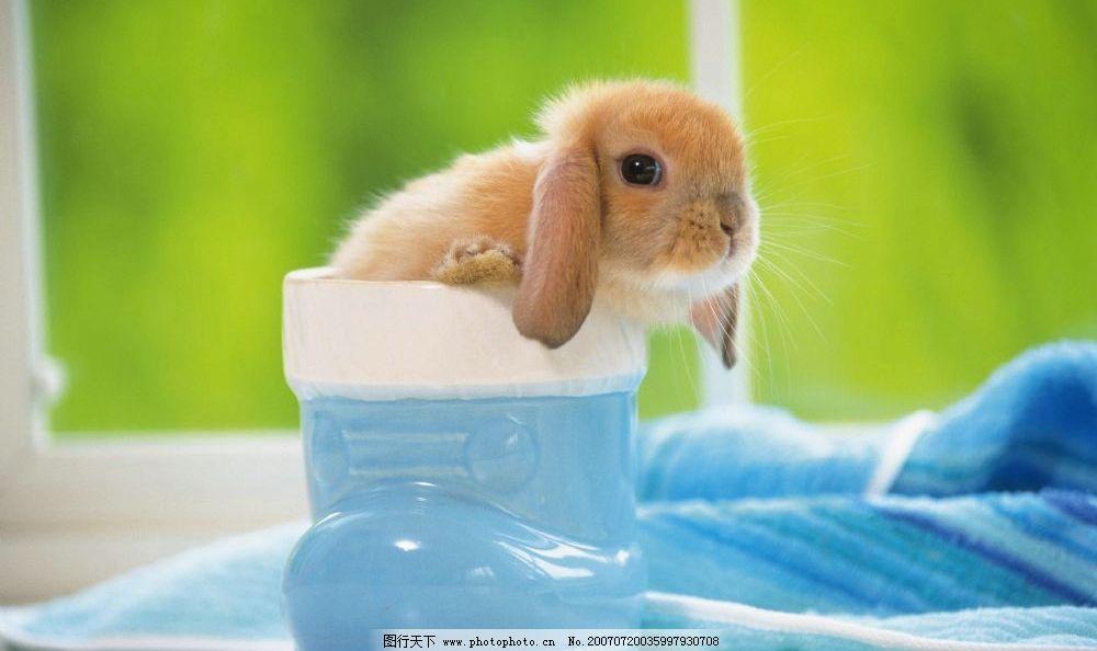 可爱的宠物兔图片
