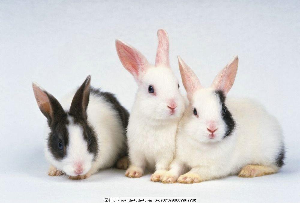 宠物兔 小兔子 兔子图片 兔子照片 野兔 家兔 生物 宠物 兔 哺乳动物