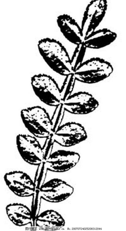 黑白植物叶子图片