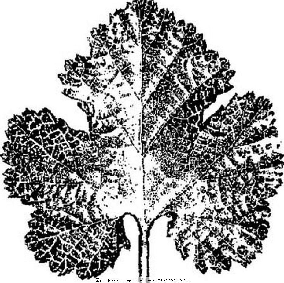 植物叶子 树叶 黑白画 矢量 树木 黑白植物叶子 矢量图库