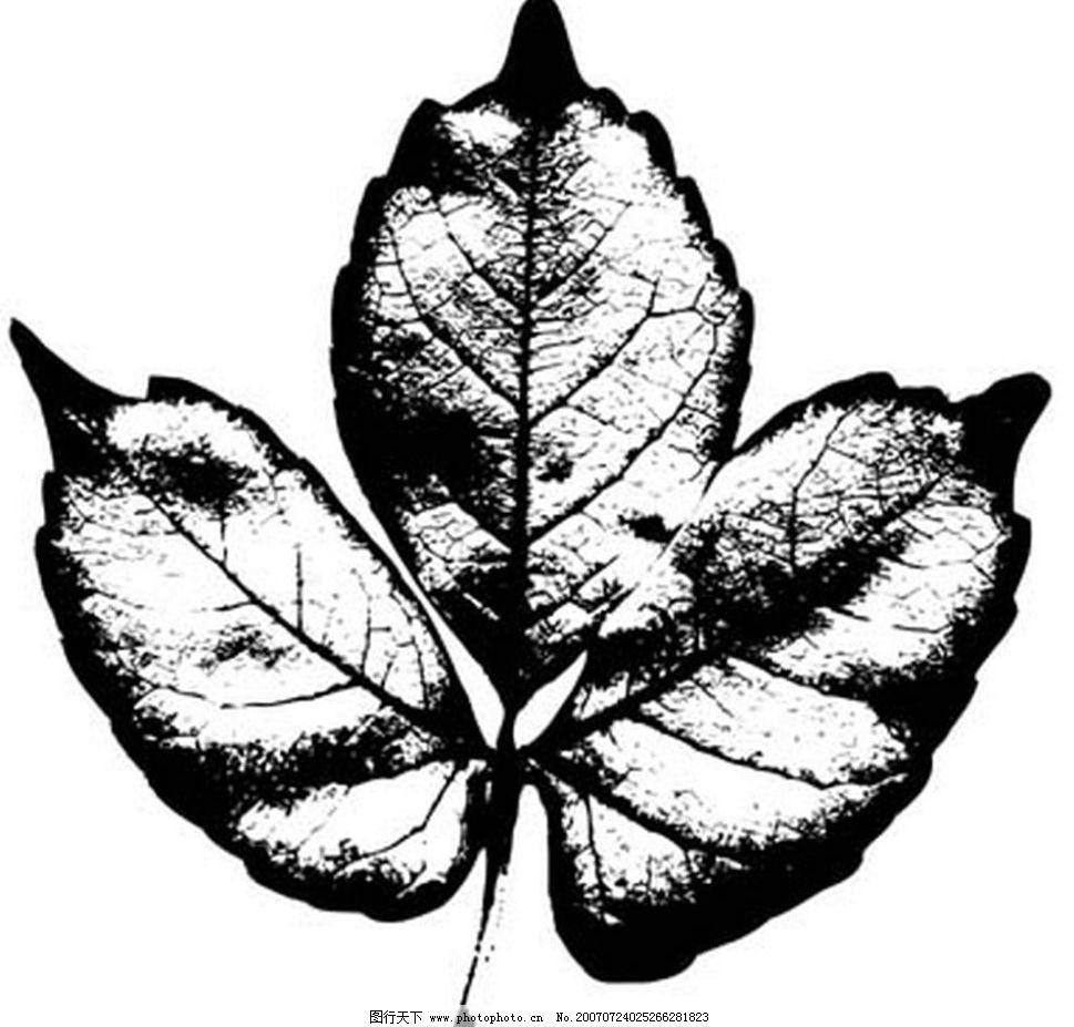 黑白叶子 树叶 叶子 植物叶子 黑白画 矢量 生物世界 树木 黑白植物