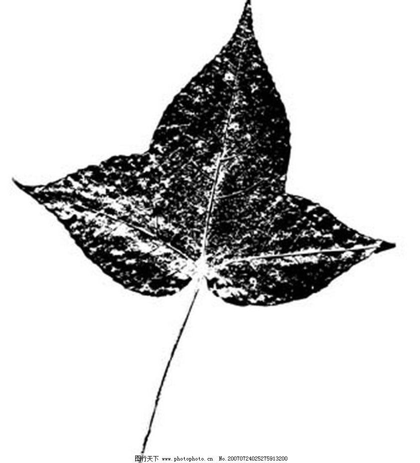 枫树树叶 树叶 叶子 植物叶子 黑白画 矢量 生物世界 树木 黑白植物