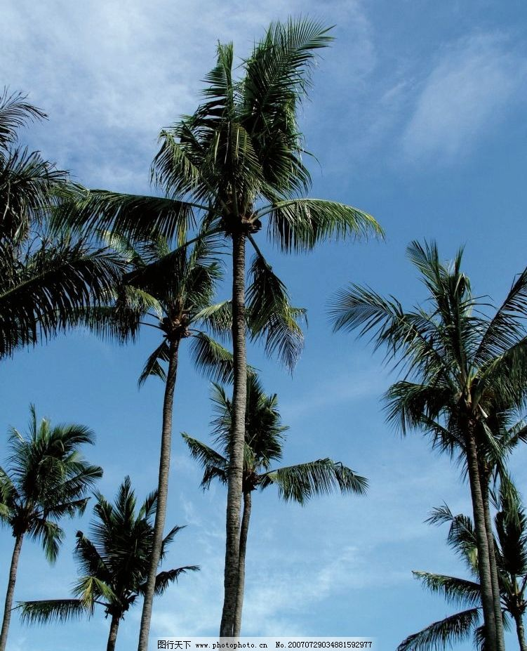 仰视椰子树 蓝天 植物 热带风光 热带风景 摄影图 自然景观 自然风景