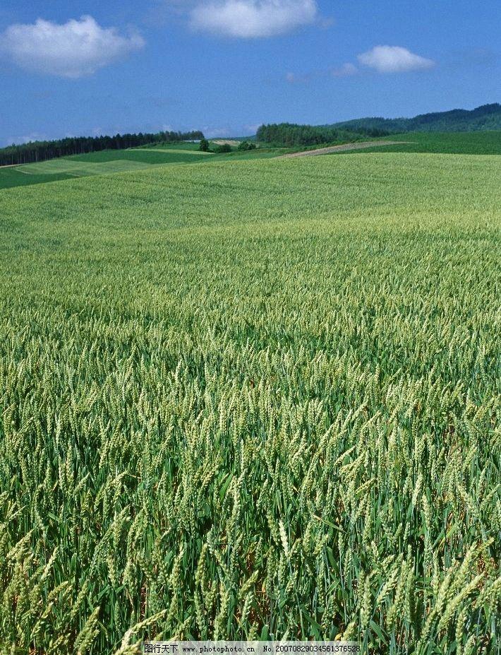 绿色麦田 麦子 小麦 麦地 田园风光图片 田园摄影 田园风景 摄影图