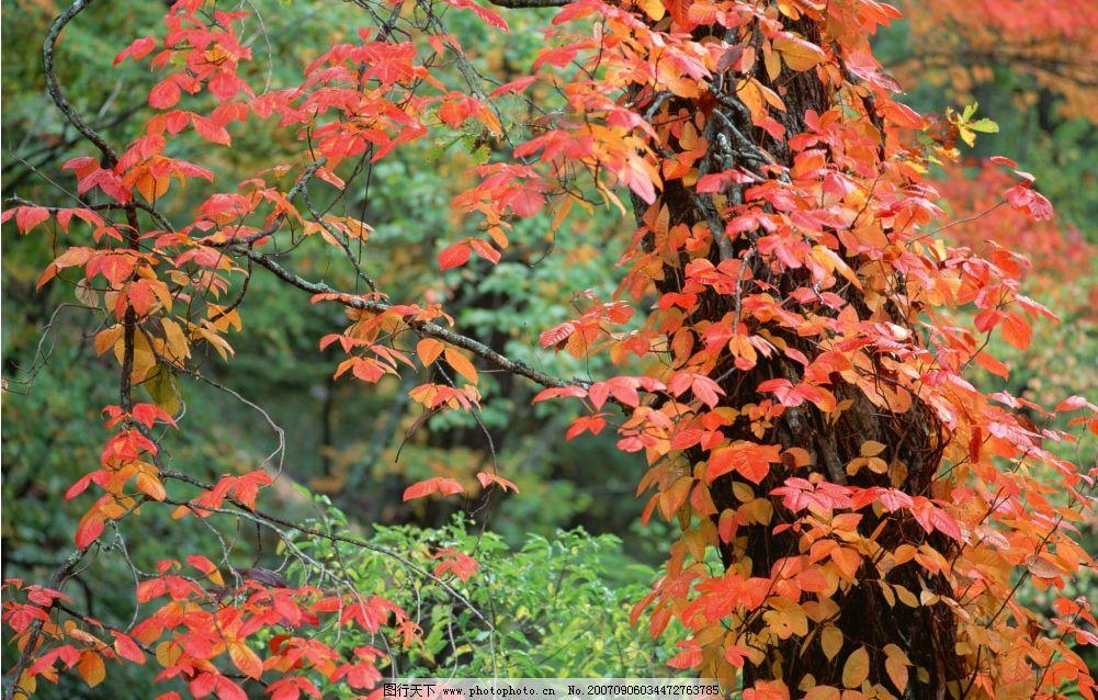 红色树叶 秋天 树叶 树林 树木 自然景观 山水风景 四季风景 摄影图库
