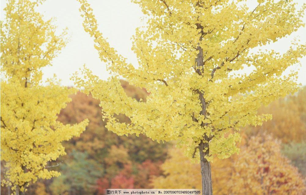 银杏树 森林 树林 森林图片 树林图片 树木 自然景观 自然风景 摄影