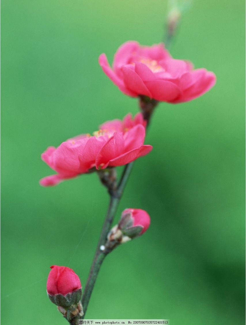 梅花 梅花图片 梅花图 梅花的图片 花卉 花朵 花 生物世界 花草 摄影