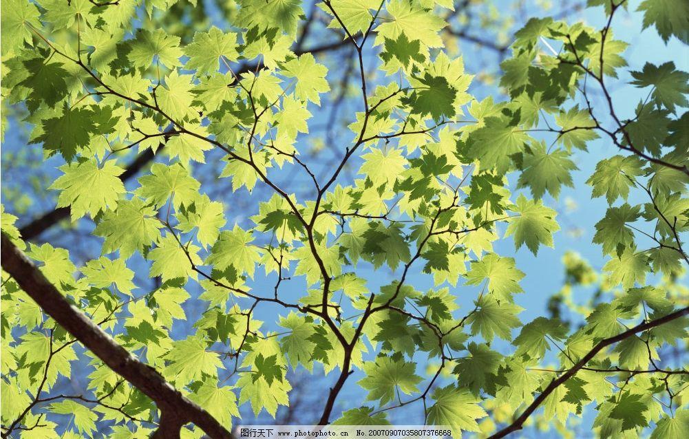 枫树叶子图片