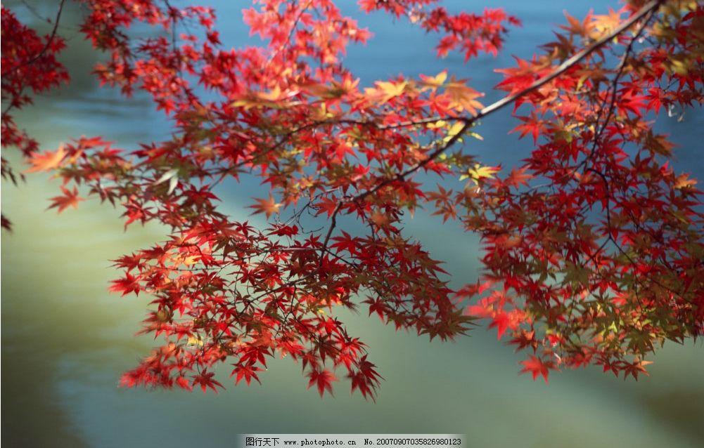 红枫叶子 红枫 枫树叶