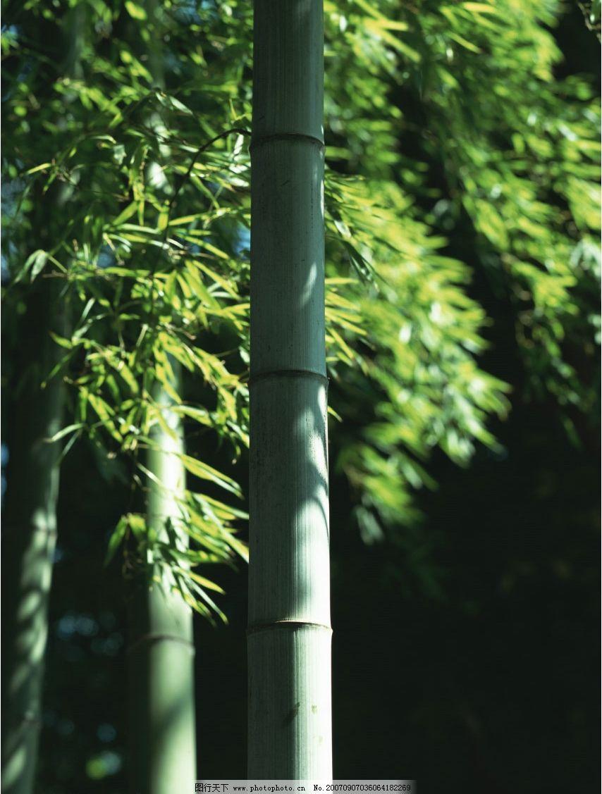 竹子竹叶 竹林 毛竹 竹子图片 竹子素材 竹子壁纸 其他生物 竹子竹林