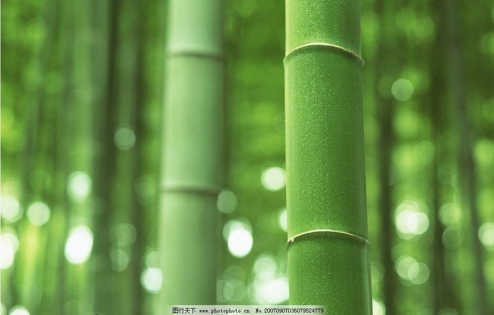 毛竹 竹子 竹林 竹子图片 竹子图 竹子素材 竹子壁纸 生物世界 其他