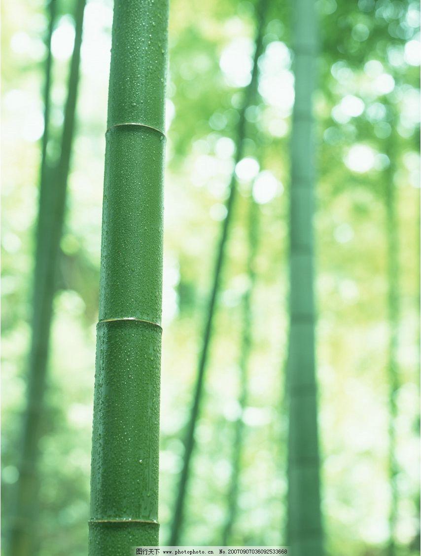 竹子 竹林 毛竹 竹子图片 竹子图 竹子素材 竹子壁纸 生物世界 其他