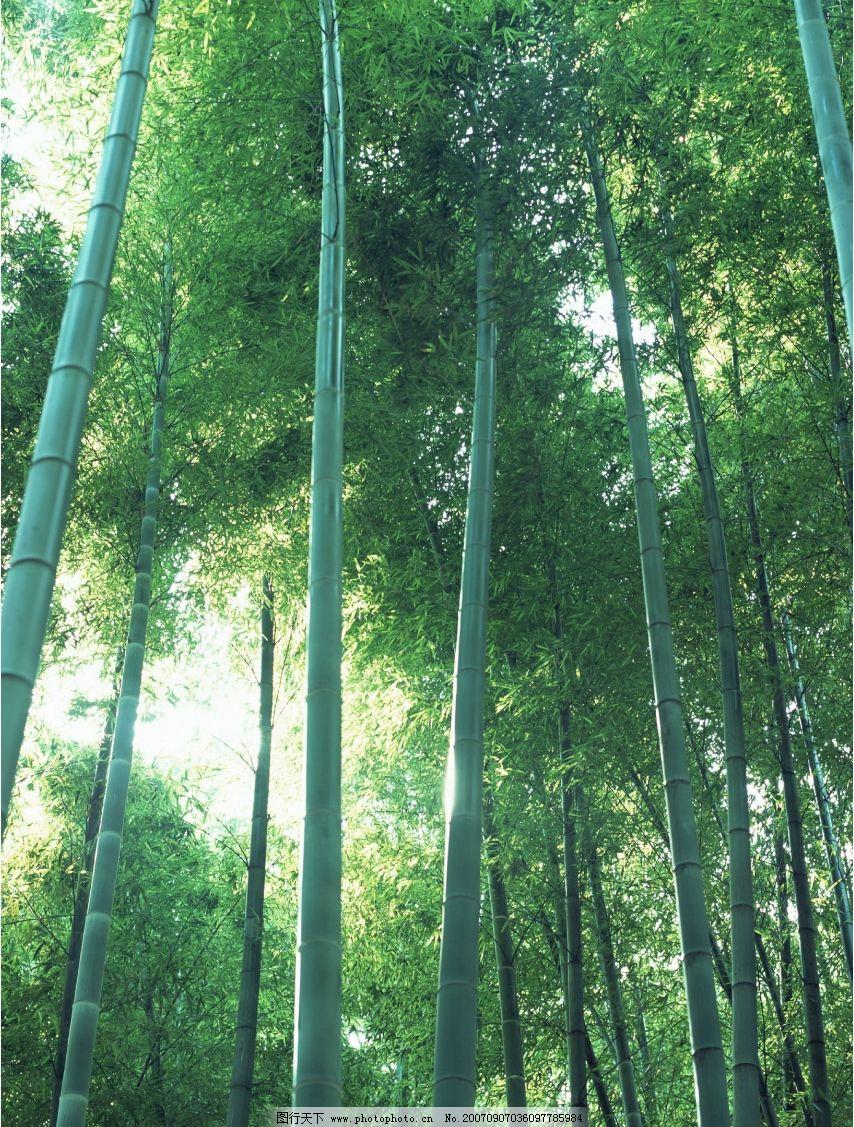 竹林竹子 毛竹 竹子素材 竹子壁纸 其他生物 竹子竹林 摄影图库