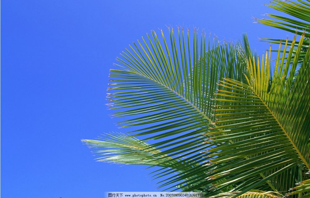 热带树叶 椰子树 旅游摄影 国外旅游 海滨度假 摄影图库   350 jpg