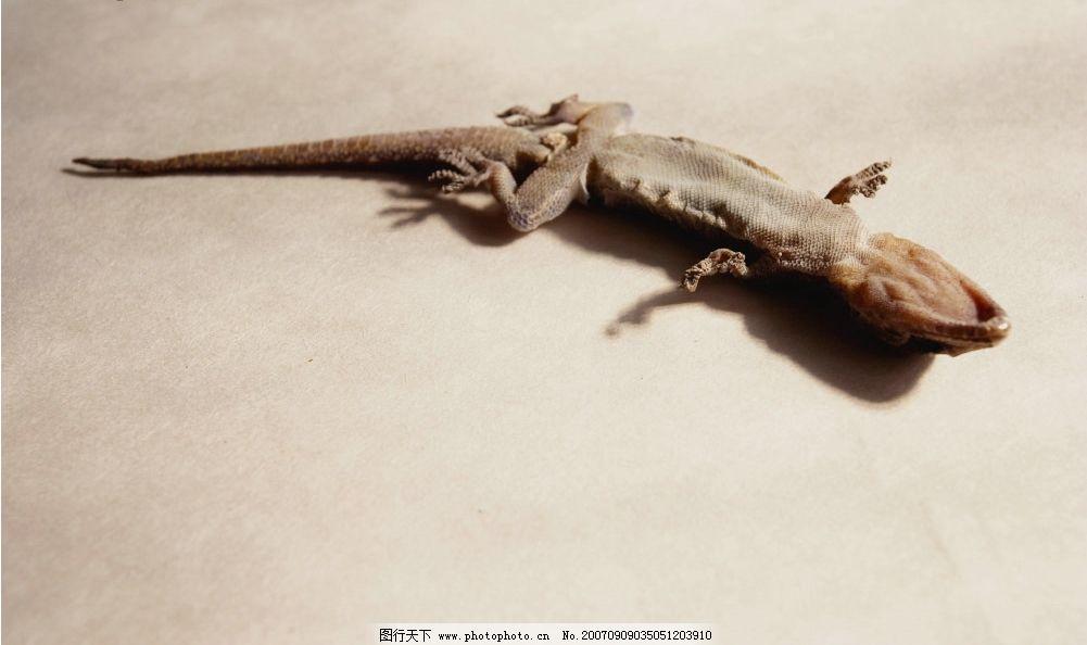 壁虎 生活用品 生活百科 生活素材 生物世界 野生动物 摄影图库   350