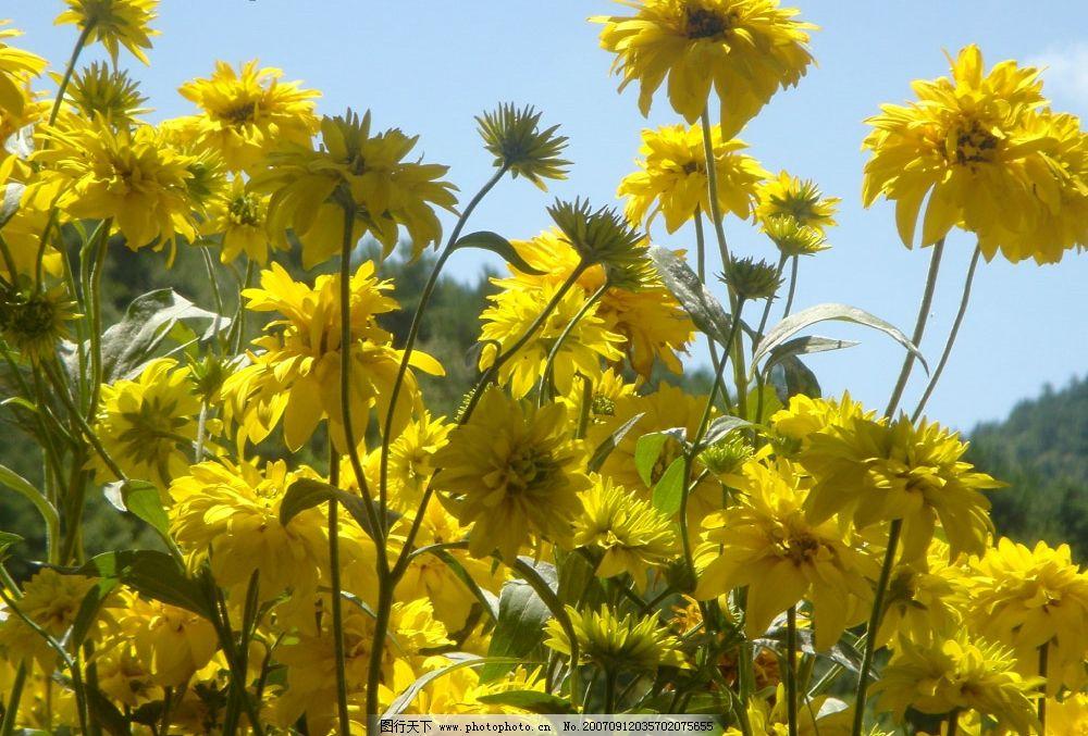 美丽的小黄花图片