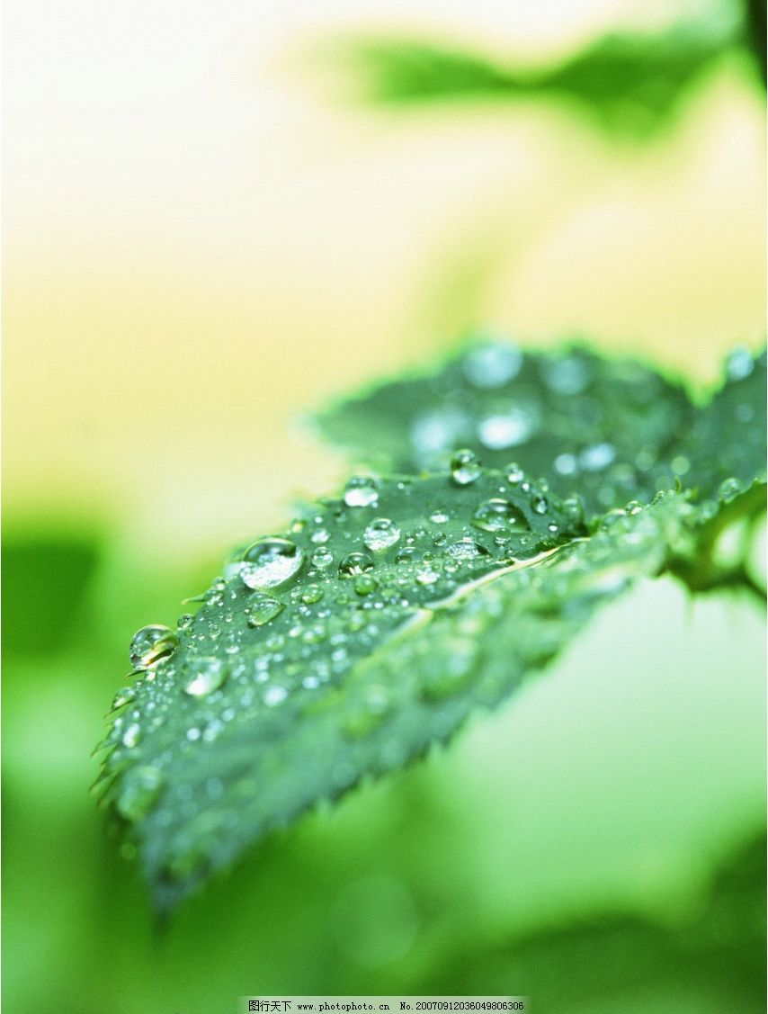 露水叶子 绿叶 树叶 叶子 植物叶子 生物世界 其他生物 摄影图库
