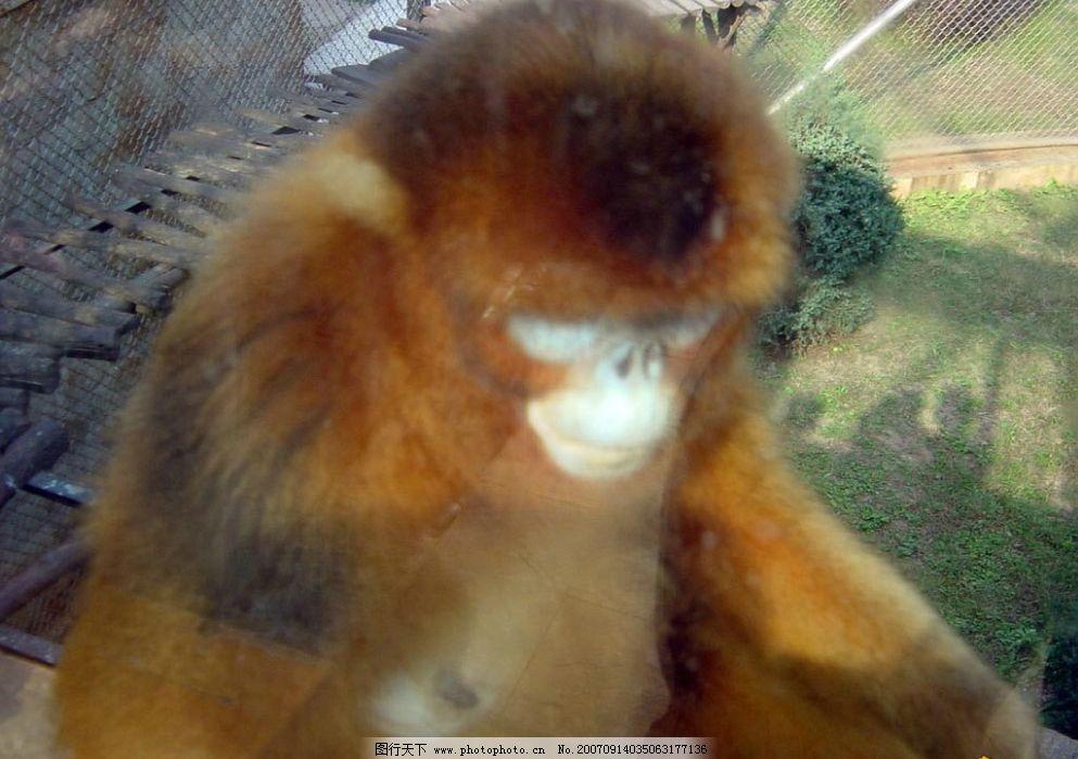 金丝猴 bmp 生物世界 野生动物 野生动物园 摄影图库   72