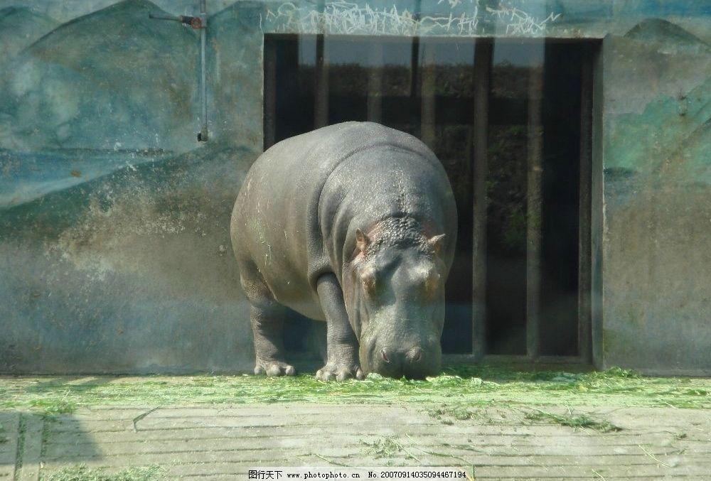 河马 jpg 生物世界 野生动物 杭州野生动物园 摄影图库