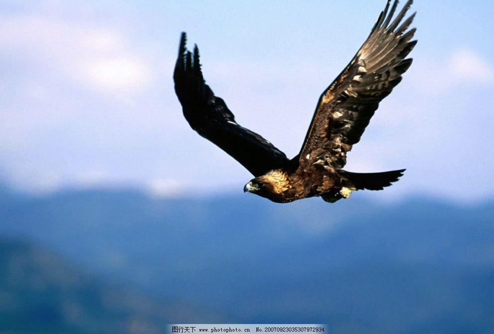鹰之飞翔 天空 生物世界 鸟类 摄影图库   72 jpg