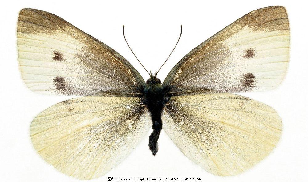 蝴蝶 昆虫 动物 自然 生物世界 蝴蝶素材 摄影图库