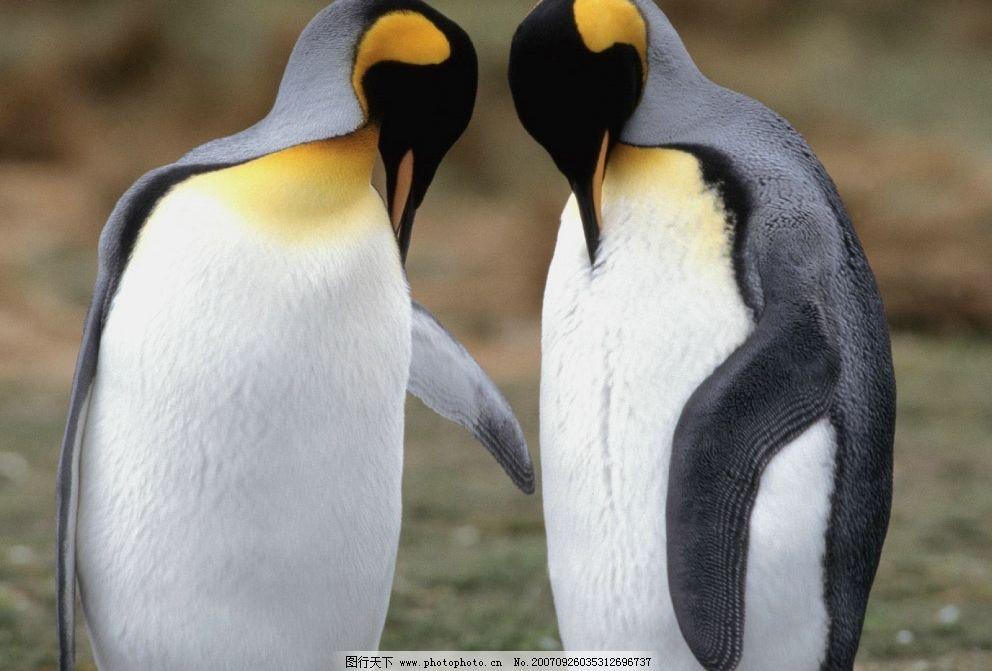 企鹅 penguin 北极 南极 生物世界 鸟类 摄影图库   72 jpg