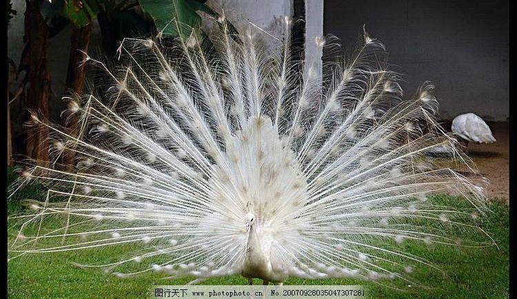 白孔雀开屏 jpg 生物世界 野生动物 野生动物园 摄影图库 72